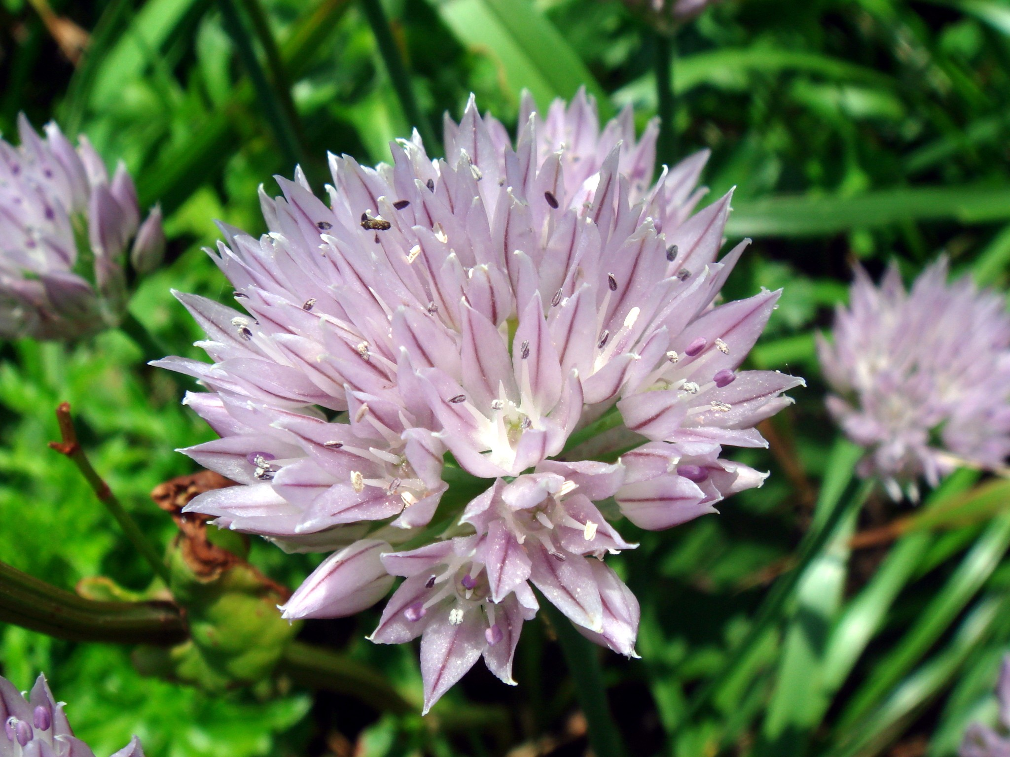 Allium ledebourianum Schultes & J H Schultes